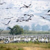 イスラエルの渡り鳥