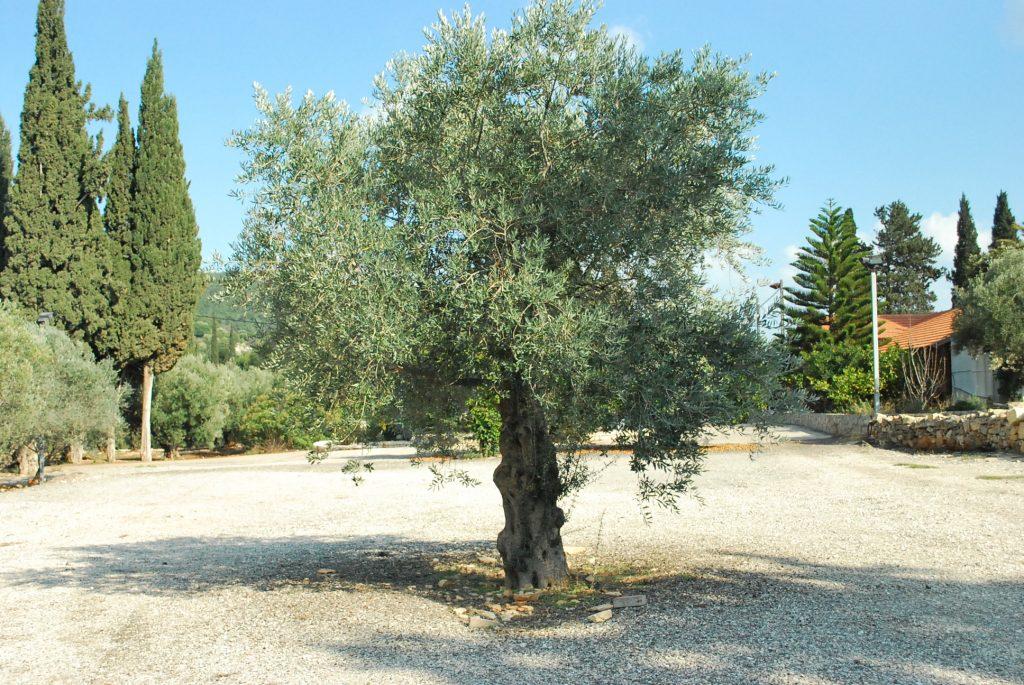 イスラエルオリーブ庁の品種保存庫にて。写真はソウリ種