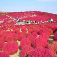 国営ひたち海浜公園のコキア紅葉